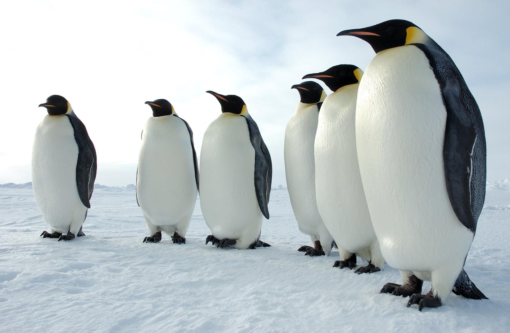 six_emperor_penguins.jpg