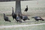 2011 Ohio Wild Turkeys.jpg